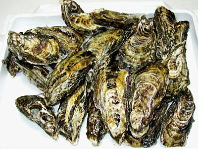 室津の海で育てられる牡蠣